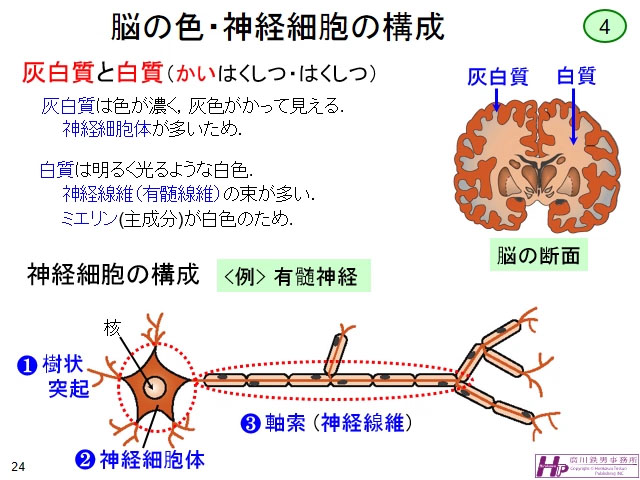 有 髄 神経 線維